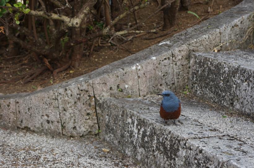 首里城內完全不害怕人類的小鳥。