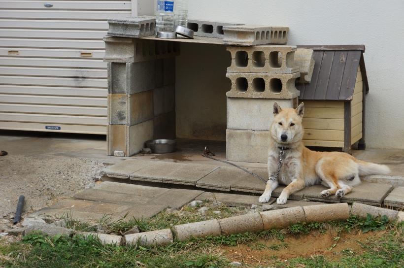在讀谷村的乖乖看門小狗。